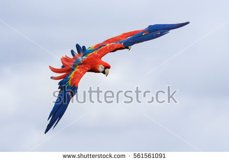 Scarlet Macaw clipart #3, Download drawings