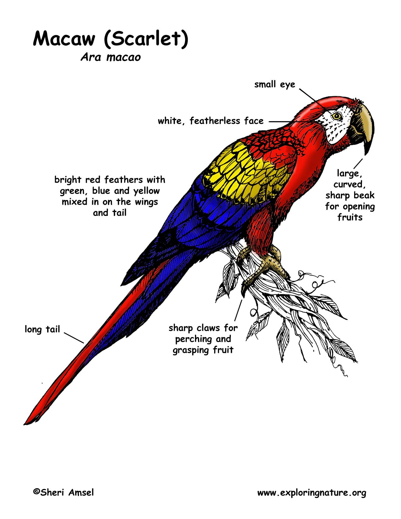 Scarlet Macaw coloring #9, Download drawings