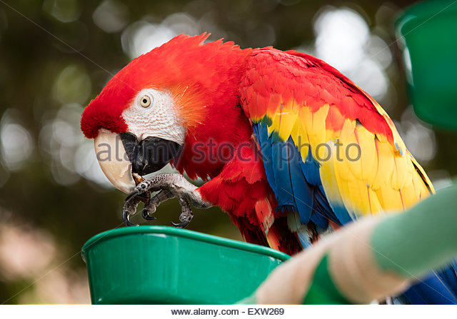 Scarlet Macaw coloring #2, Download drawings