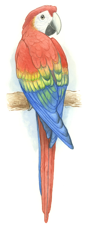 Scarlet macaw coloring download scarlet macaw coloring for Scarlet macaw coloring page