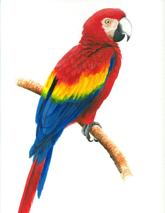 Scarlet Macaw coloring #11, Download drawings