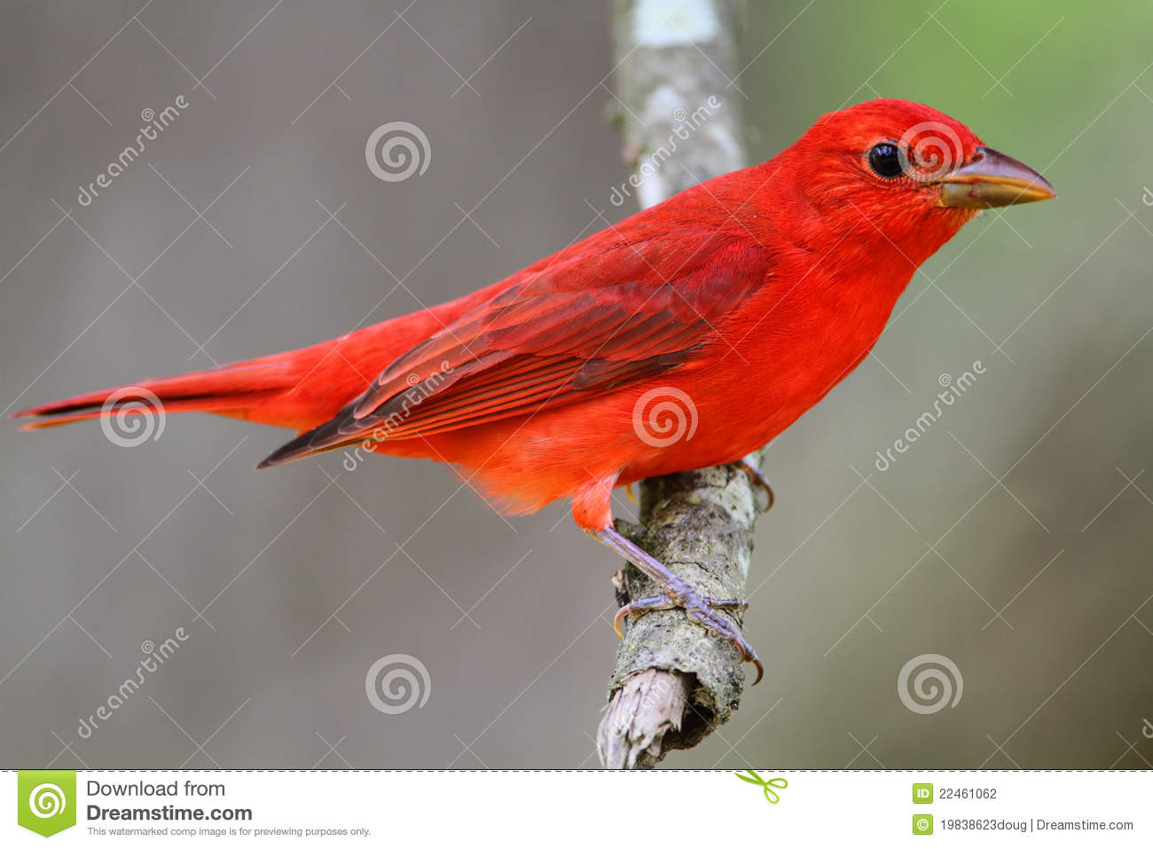 Summer Tanager clipart #3, Download drawings