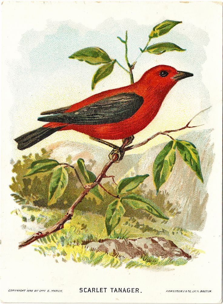 Scarlet Tanager clipart #3, Download drawings