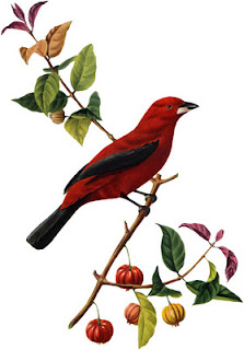 Scarlet Tanager clipart #4, Download drawings
