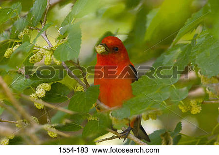 Scarlet Tanager clipart #6, Download drawings