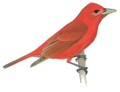 Summer Tanager clipart #19, Download drawings