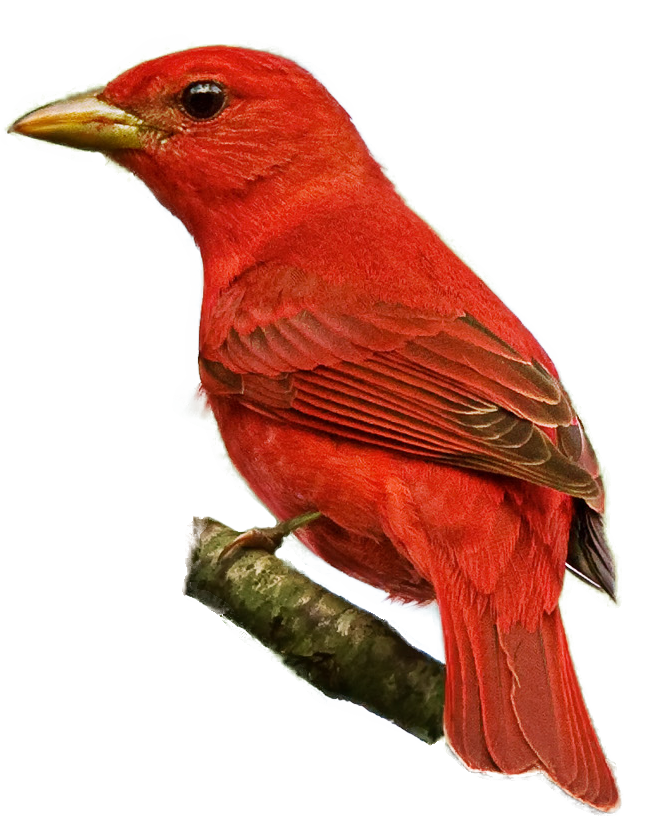 Summer Tanager clipart #10, Download drawings