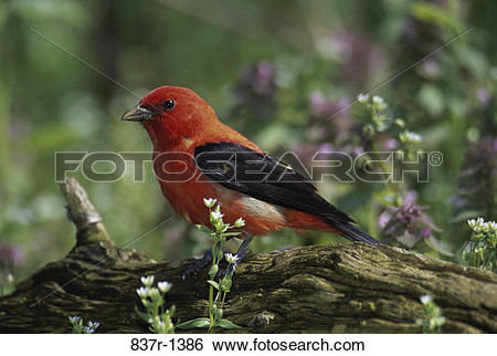 Scarlet Tanager clipart #5, Download drawings