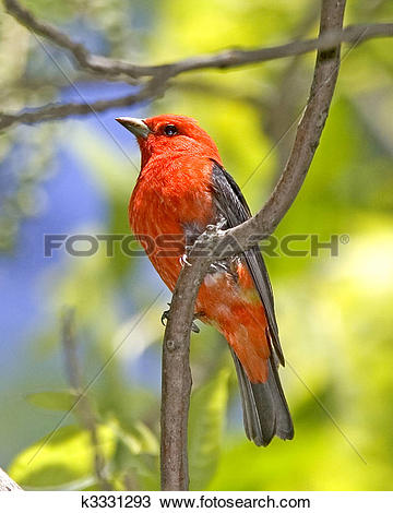 Scarlet Tanager clipart #9, Download drawings