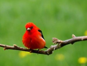 Scarlet Tanager coloring #19, Download drawings