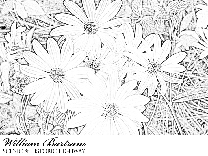 Coreopsis coloring #1, Download drawings