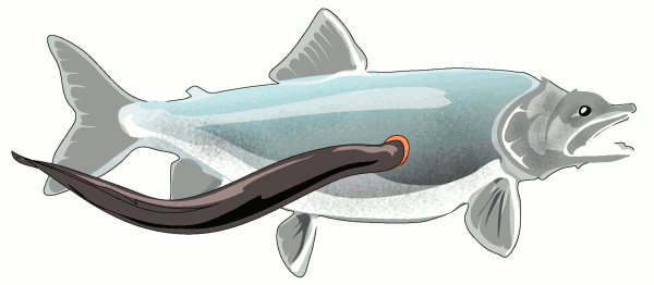 Sea Lamprey clipart #10, Download drawings