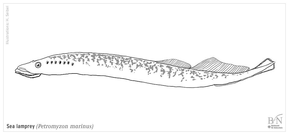 Sea Lamprey coloring #20, Download drawings