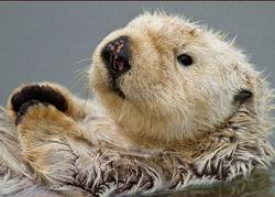 Sea Otter clipart #1, Download drawings