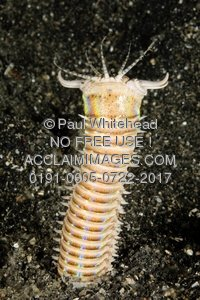 Sea Worm clipart #2, Download drawings