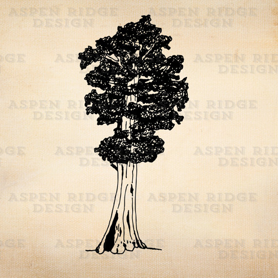 Sequoia clipart #1, Download drawings