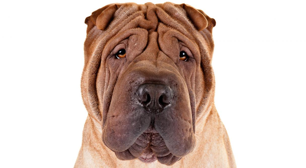 Shar Pei clipart #13, Download drawings