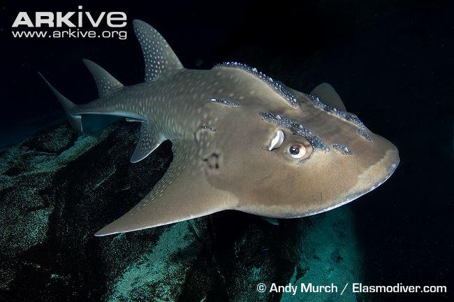 Shark Fin Guitarfish clipart #3, Download drawings