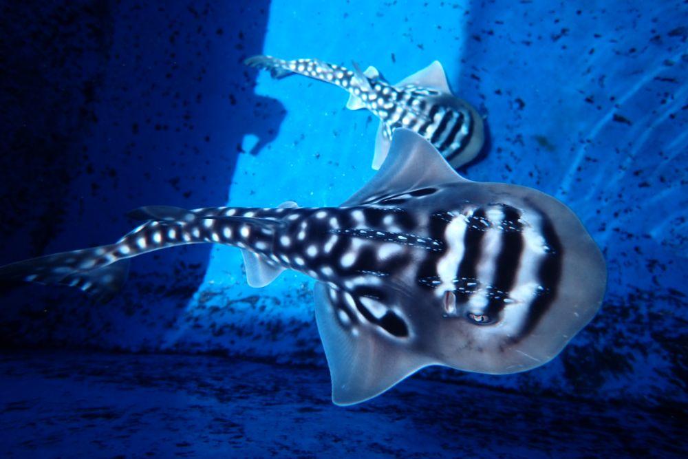 Shark Fin Guitarfish clipart #1, Download drawings