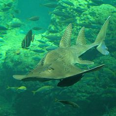 Shark Fin Guitarfish clipart #10, Download drawings