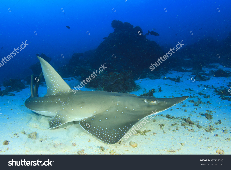 Shark Fin Guitarfish clipart #11, Download drawings