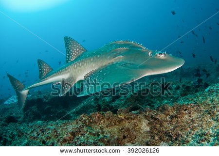 Shark Fin Guitarfish clipart #12, Download drawings