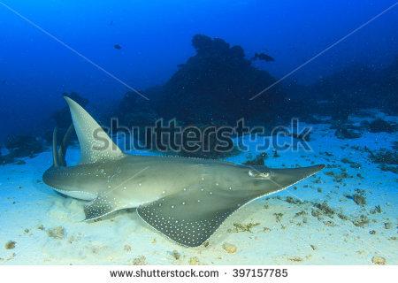 Shark Fin Guitarfish clipart #9, Download drawings