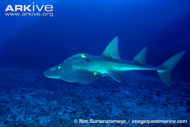 Shark Fin Guitarfish clipart #6, Download drawings