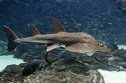 Shark Fin Guitarfish clipart #18, Download drawings