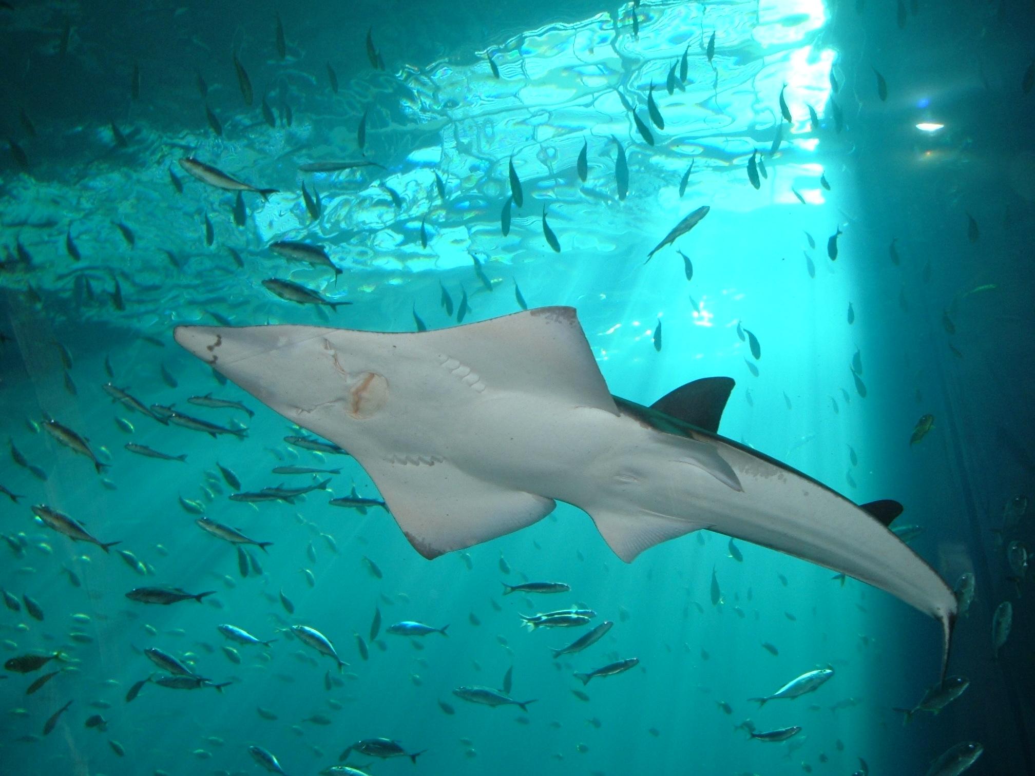 Shark Fin Guitarfish clipart #7, Download drawings