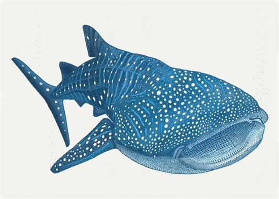 Sharkwhale clipart #13, Download drawings