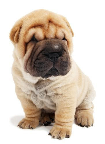 Sharpei clipart #5, Download drawings