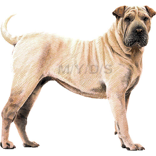 Sharpei clipart #4, Download drawings