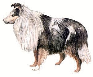 Sheepdog clipart #14, Download drawings