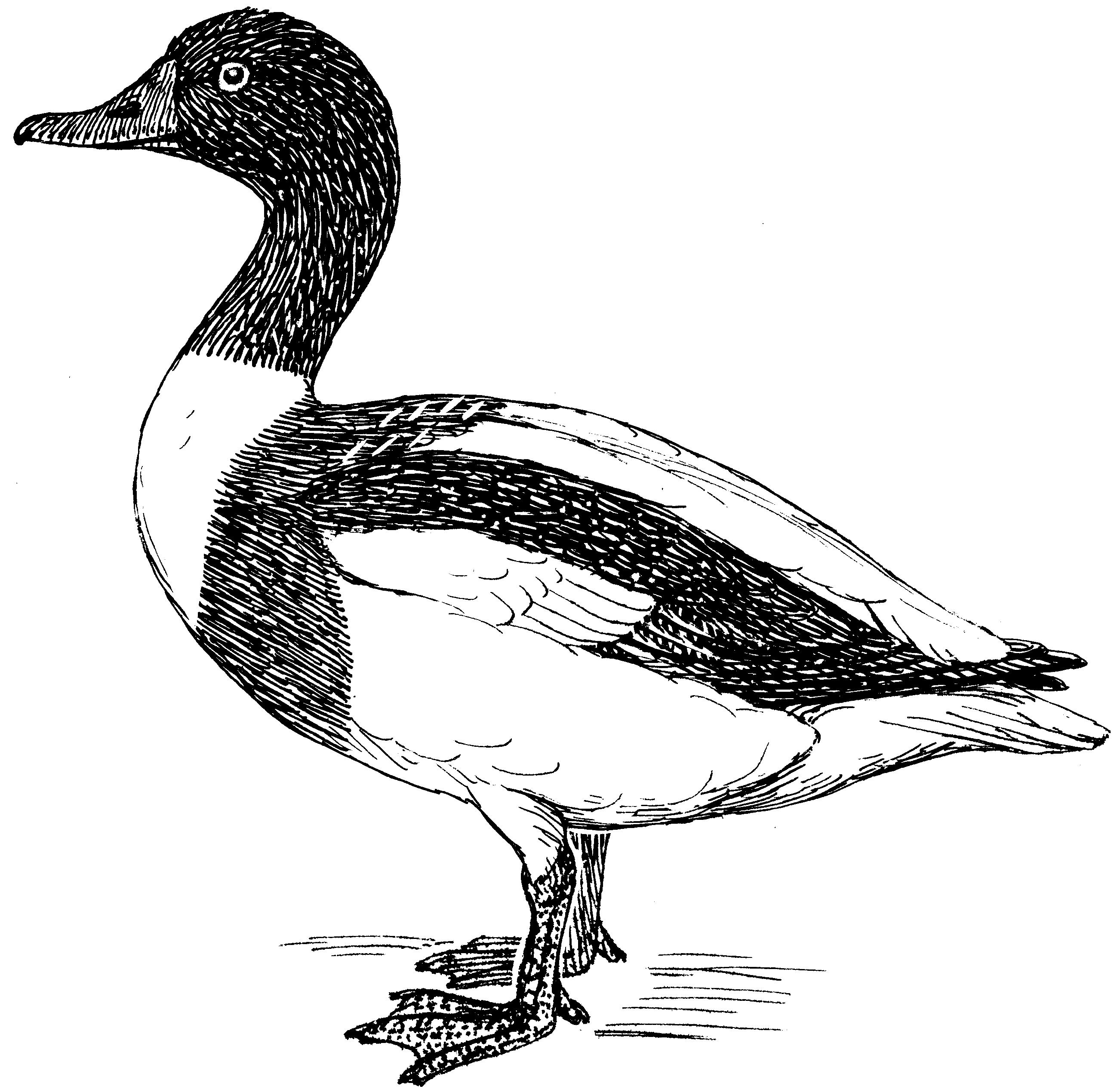 Sheldrake svg #10, Download drawings