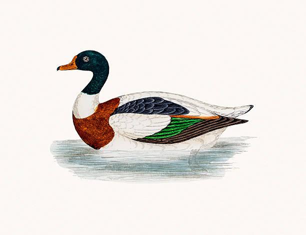 Shelduck clipart #16, Download drawings