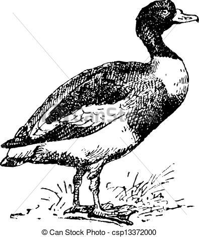 Shelduck clipart #12, Download drawings