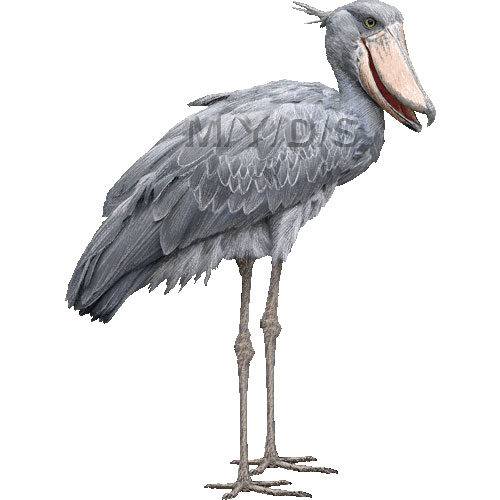 Shoebill clipart #12, Download drawings