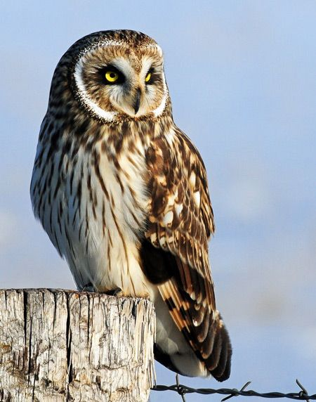 Short-eared Owl clipart #3, Download drawings