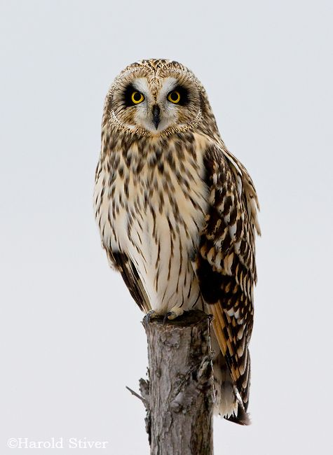 Short-eared Owl clipart #17, Download drawings