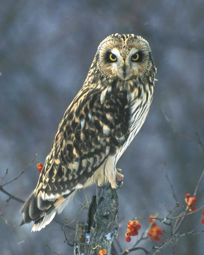 Short-eared Owl clipart #9, Download drawings