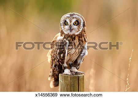 Short-eared Owl clipart #7, Download drawings