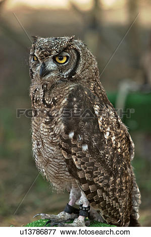 Short-eared Owl clipart #11, Download drawings