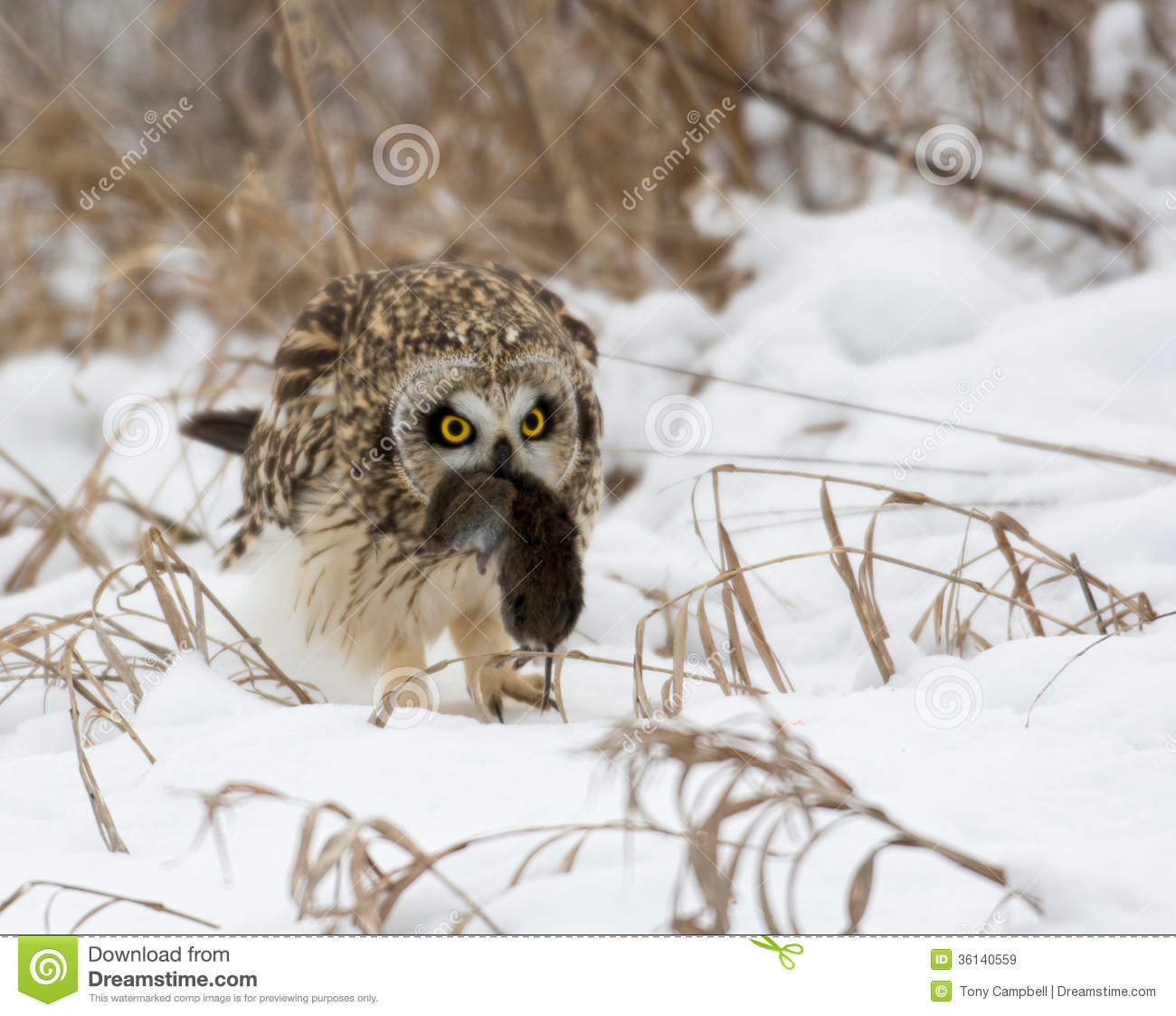 Short-eared Owl clipart #13, Download drawings