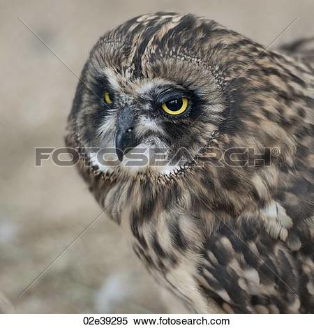 Short-eared Owl clipart #10, Download drawings