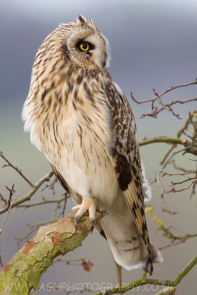 Short-eared Owl clipart #2, Download drawings