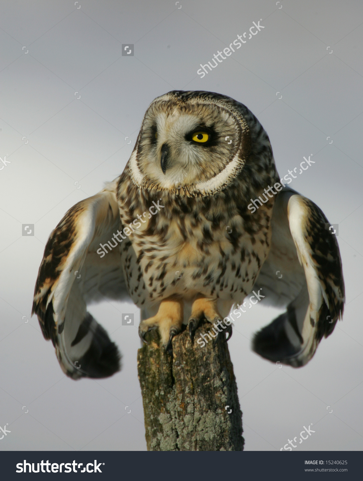 Short-eared Owl clipart #14, Download drawings