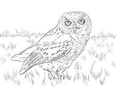 Short-eared Owl coloring #13, Download drawings