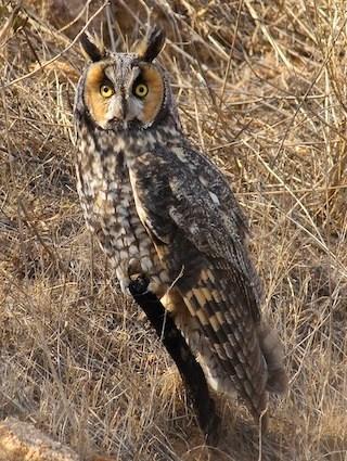 Short-eared Owl coloring #19, Download drawings