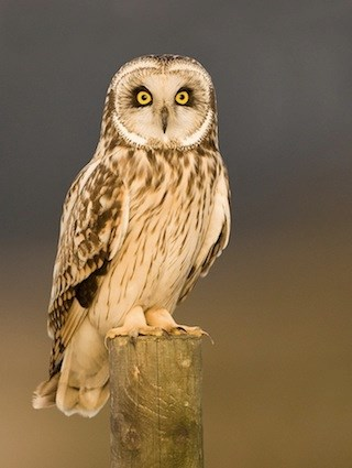 Short-eared Owl coloring #18, Download drawings